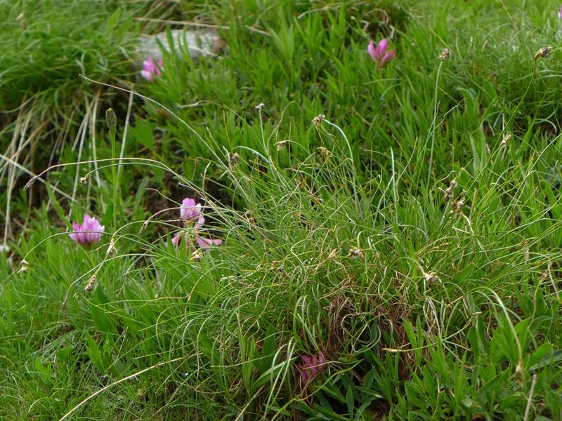 Anthracoidea curvulae_Carex curvula_Jkruse (1)