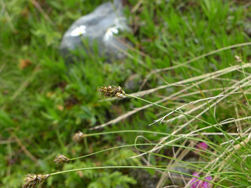 Anthracoidea curvulae_Carex curvula_Jkruse (2)