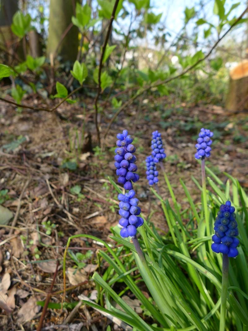 Antherospora hortensis_Muscari armeniacum_JKruse (2)