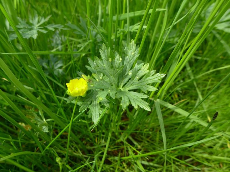 Entyloma_microsporum_Ranunculus_acris_JKruse (1)