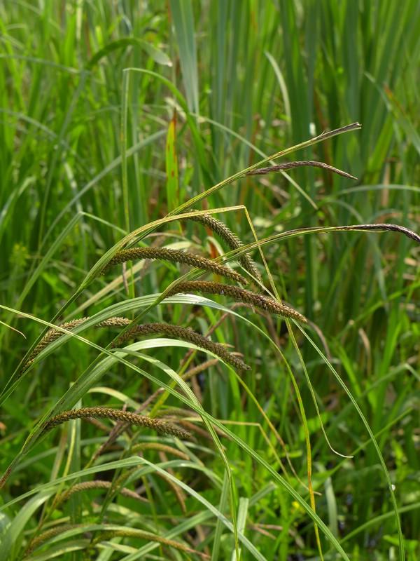 Anthracoidea echinospora_Carex acuta_JKruse (1)