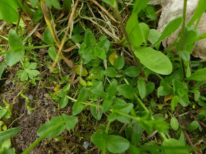 Entyloma veronicae_Veronica serpyllifolia_JKruse (00)