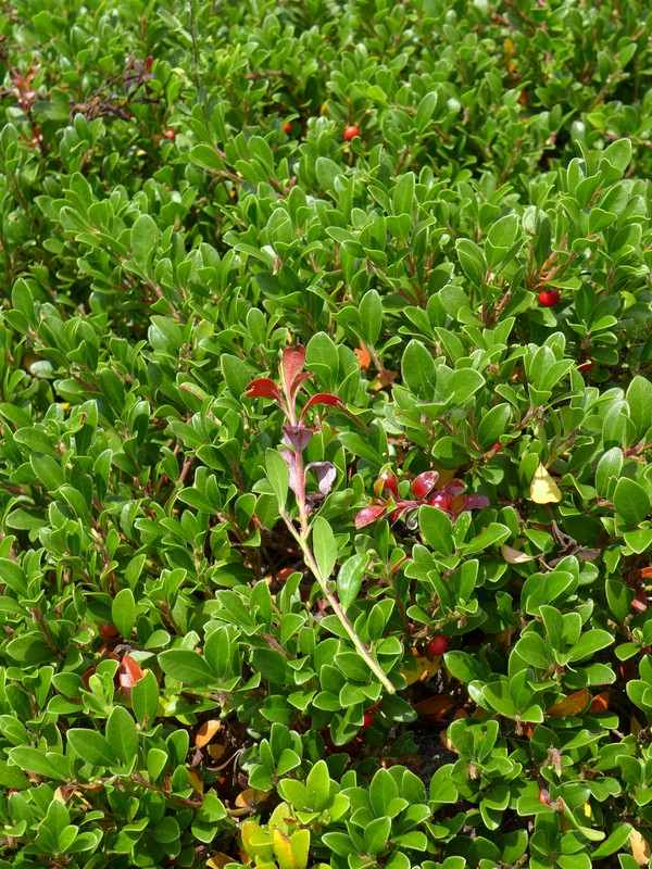 Exobasidium uvae-ursi_Arctostaphylos uva-ursi_JKruse (1)