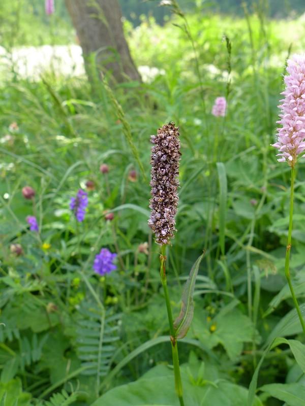 Microbotryum bistortarum_Bistorta officinalis_JKruse (1)