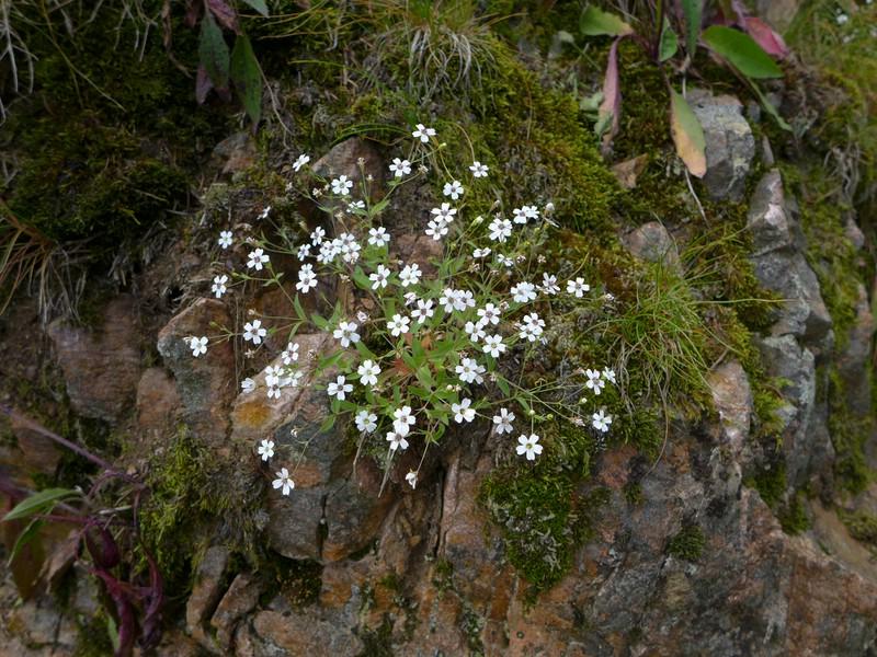 Microbotryum lagerheimii_Silene rupestris_Jkruse (1)