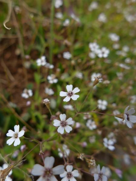 Microbotryum lagerheimii_Silene rupestris_Jkruse (3)