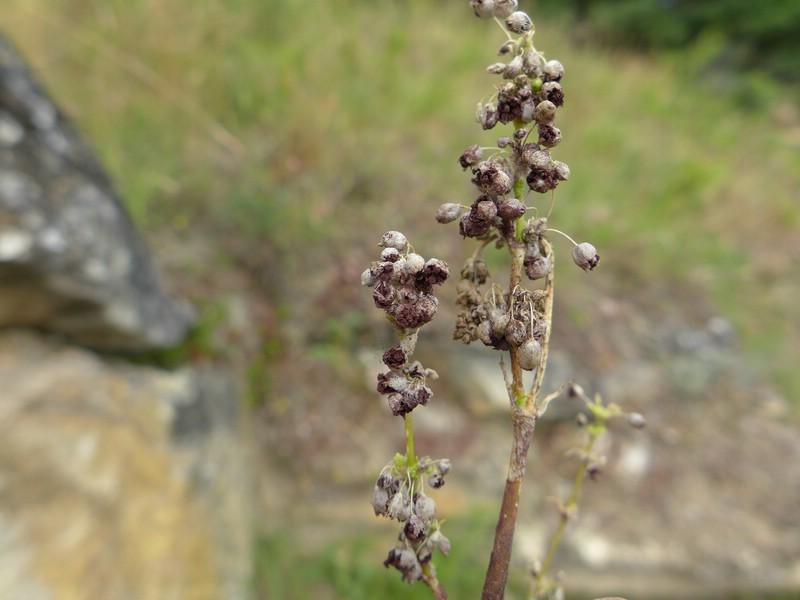 Microbotryum majus_Silene otites_Jkruse (1)