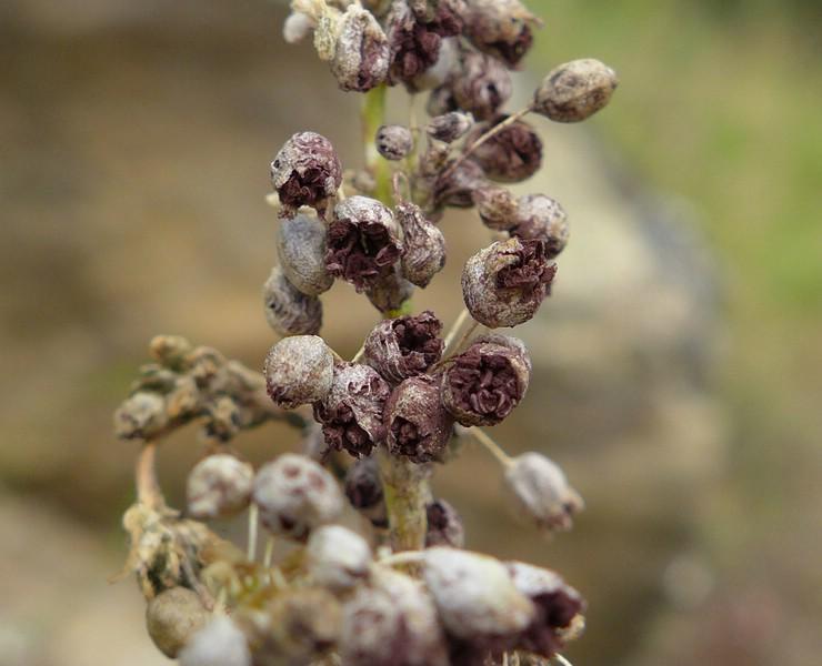 Microbotryum majus_Silene otites_Jkruse (2)