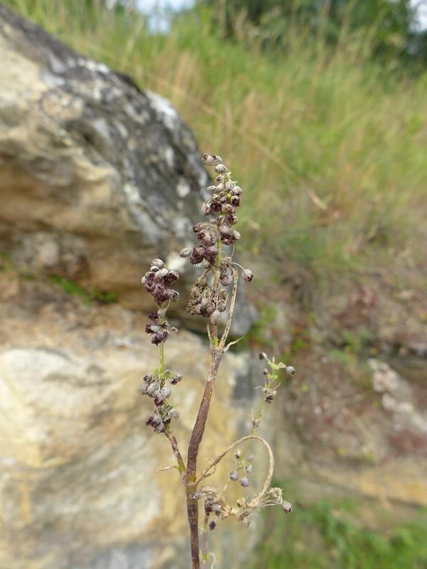 Microbotryum majus_Silene otites_Jkruse (8)