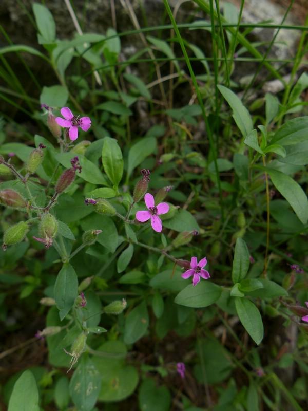 Microbotryum saponariae_Saponaria ocymoides_Jkruse (1)