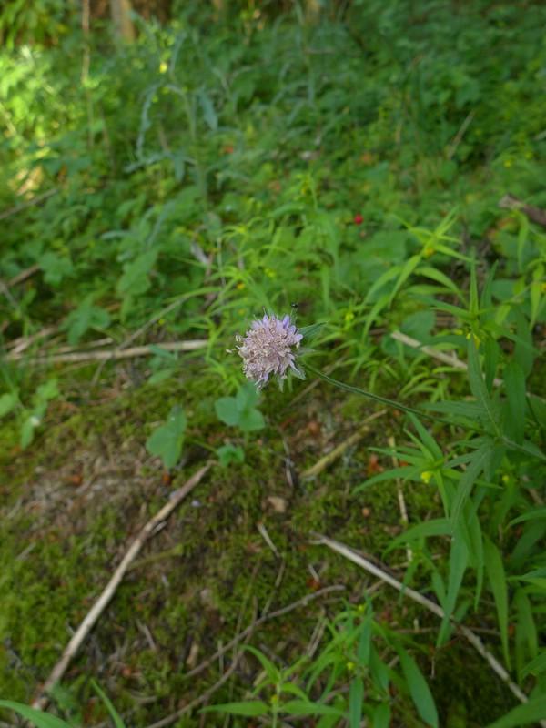 Microbotryum scabiosae_Knautia dipsacifolia_JKruse (1)