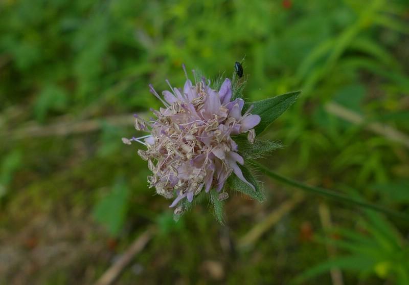 Microbotryum scabiosae_Knautia dipsacifolia_JKruse (2)