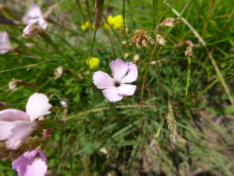 Microbotryum shykoffianum_Dianthus sylvestris_Jkruse (1)