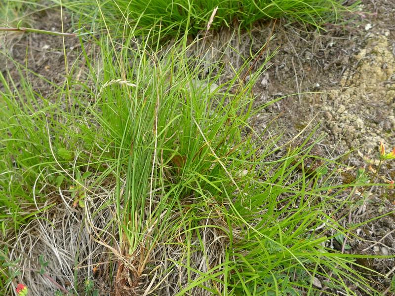 Schizonella cocconii_Carex humilis_Jkruse (1)
