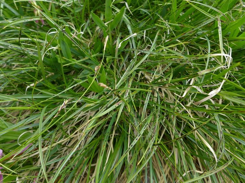 Schizonella melanogramma_Carex sempervirens_JKruse (1)