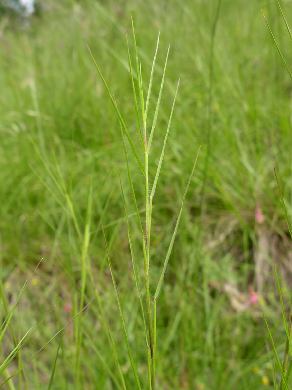 Tranzscheliella hypodytes_Bromus erectus_Jkruse (1)