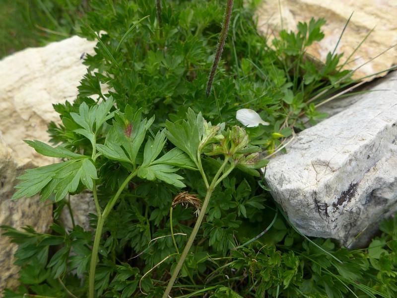 Urocystis antipolitana_Anemone baldensis_JKruse (3)