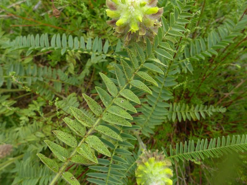 Uromyces astragali-alopecuri_Astragalus alopecurus_JKruse (2)