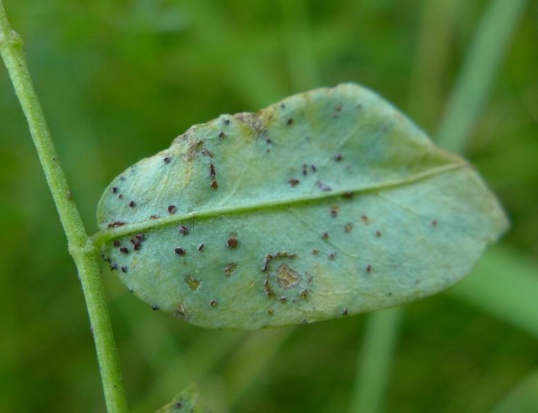 Uromyces coronillae_Coronilla varia_JKruse (3)