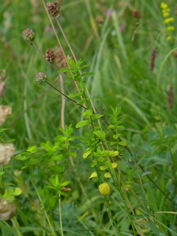Uromyces excavatus_Euphorbia verrucosa_JKruse (1)
