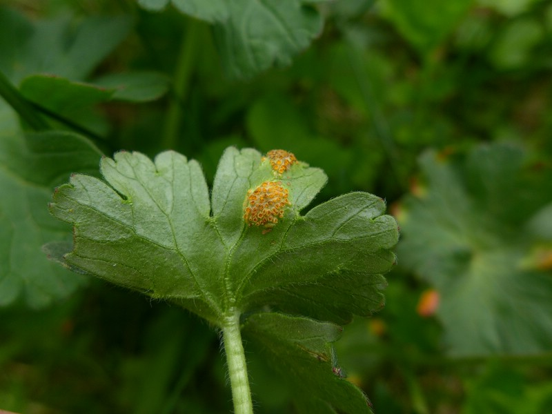 Uromyces kabatianus_Geranium pyrenaicum_JKruse (2)