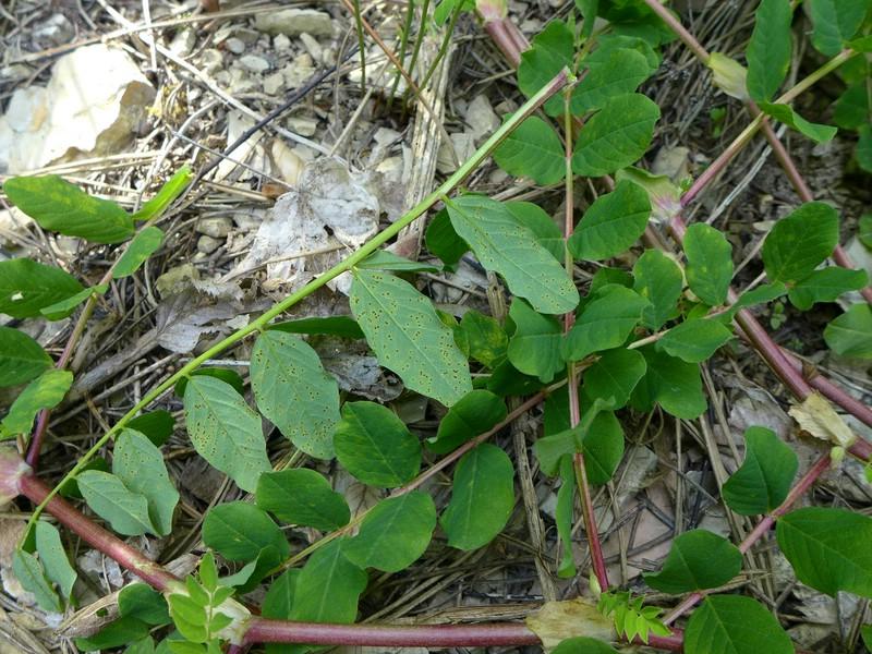 Uromyces punctatus_Astragalus glycyphyllos_JKruse (3a)