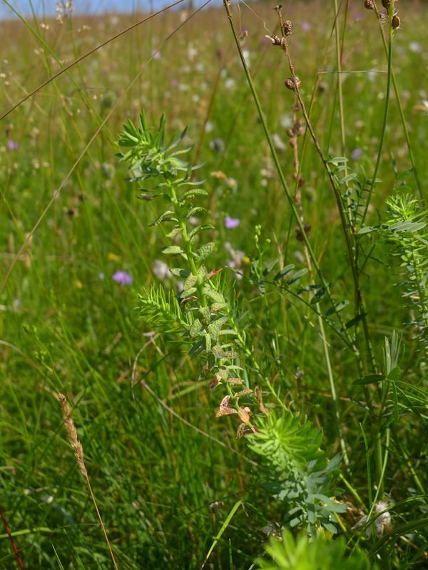 Aecidium euphorbiae_Euphorbia segueriana_JKruse (6)