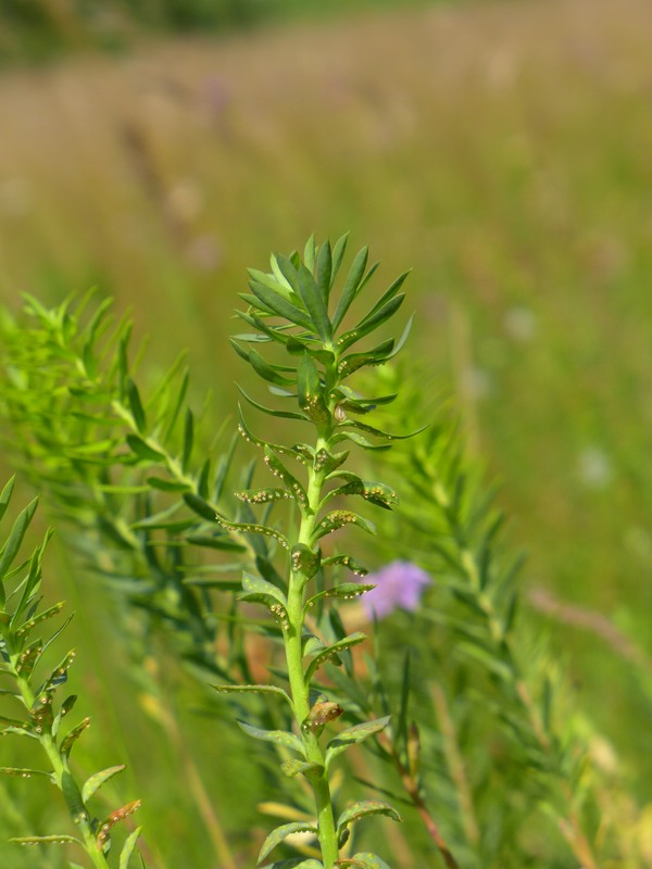 Aecidium euphorbiae_Euphorbia segueriana_JKruse (8)