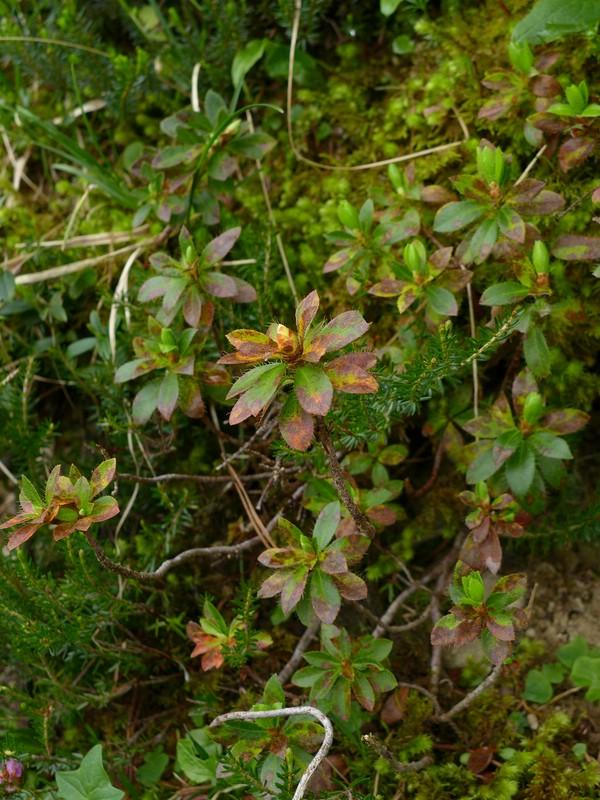 Chrysomyxa rhododendri_Rhododendron hirsutum_JKruse (2)