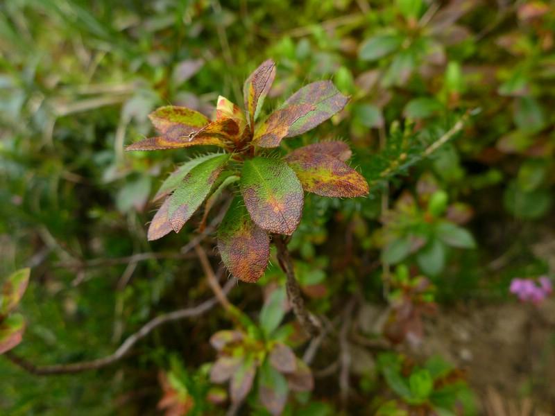 Chrysomyxa rhododendri_Rhododendron hirsutum_JKruse (4)
