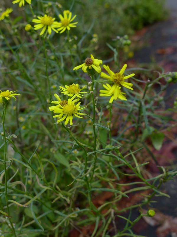 Coleosporium senecionis_Senecio inaequidens_JKruse