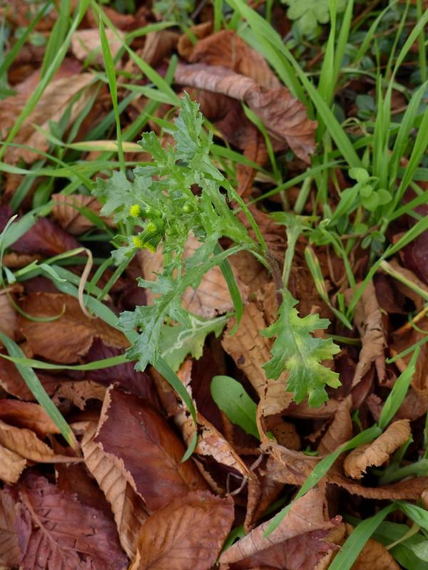 Coleosporium senecionis_Senecio vulgaris_JKruse