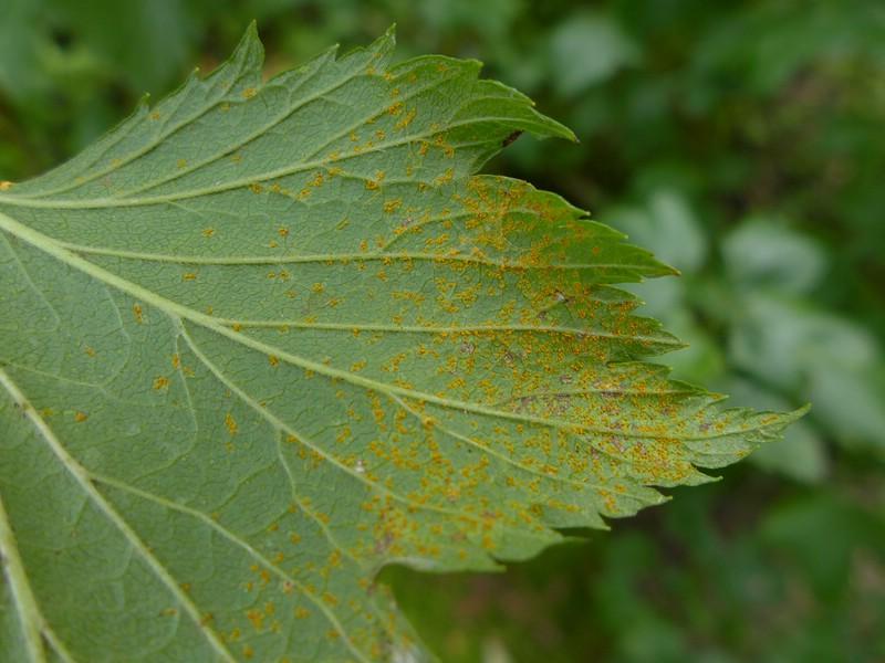 Cronartium ribicola_Ribes nigrum_JKruse (1)