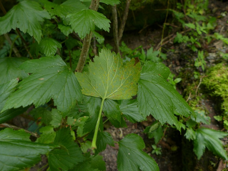 Cronartium ribicola_Ribes nigrum_JKruse (2)