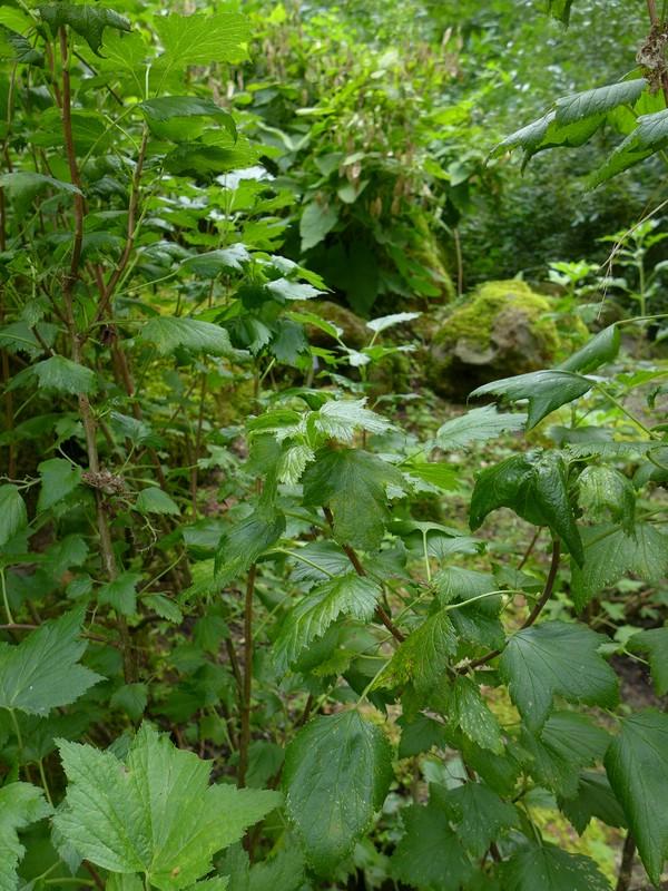 Cronartium ribicola_Ribes nigrum_JKruse (3)