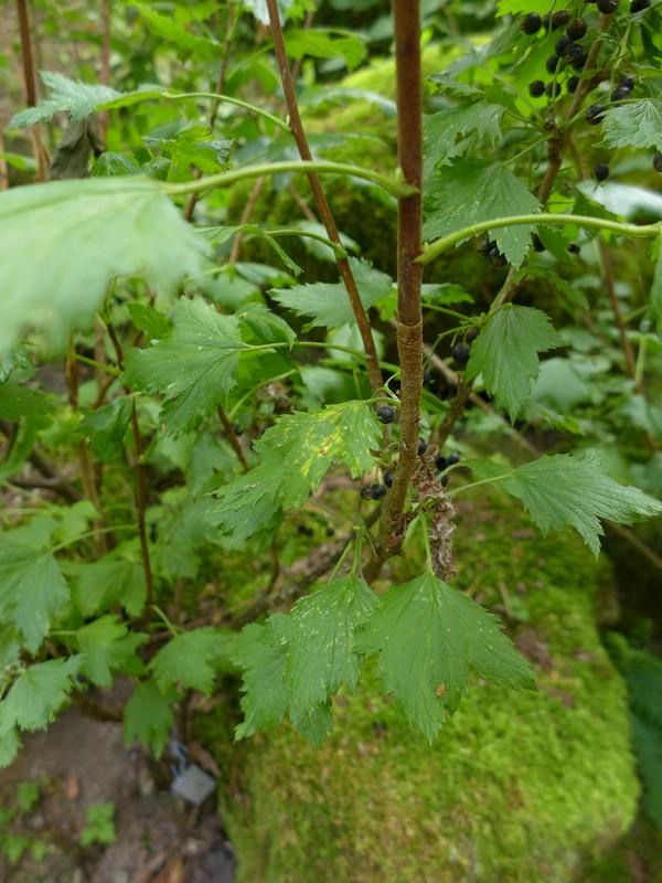 Cronartium ribicola_Ribes nigrum_JKruse