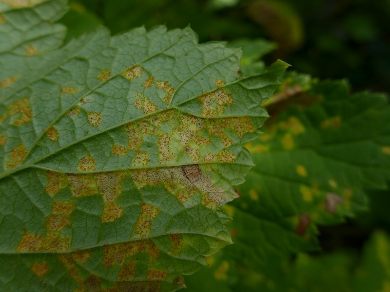 Cronartium ribicola_Ribes rubrum_JKruse (4)