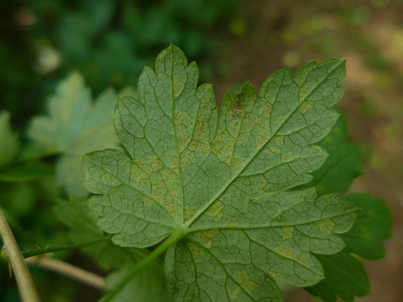 Cronartium ribicola_Ribes uva-crispa_JKrusee (1)