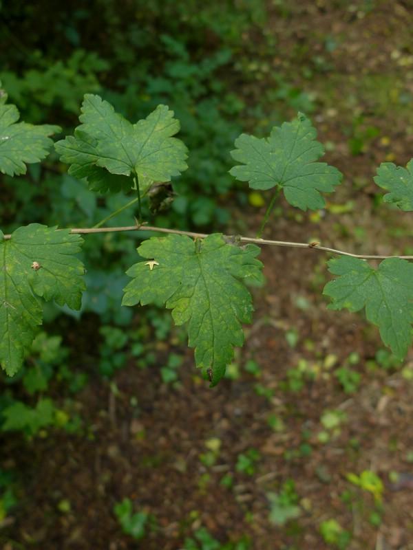 Cronartium ribicola_Ribes uva-crispa_JKrusee