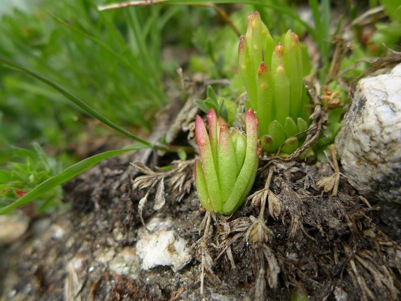 Endophyllum sempervivi_Sempervivum arachnoideum_JKruse (2)