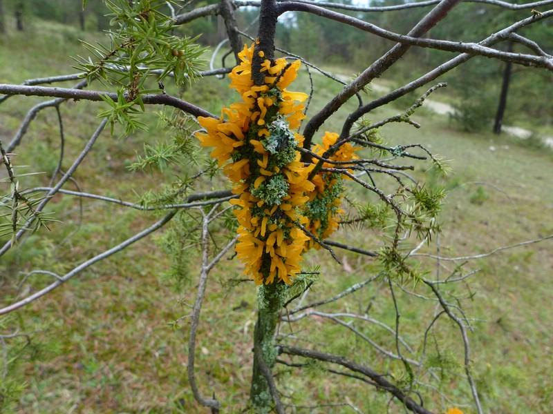 Gymnosporangium clavariaeforme_Juniperus communis_JKruse