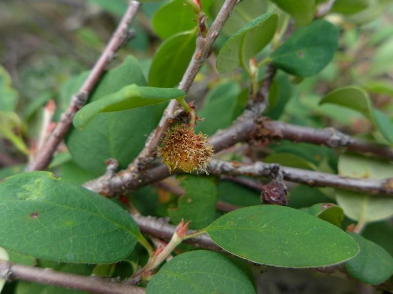 Gymnosporangium fusisporum_Cotoneaster integerrimus_JKruse (2)
