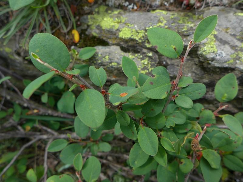 Gymnosporangium fusisporum_Cotoneaster integerrimus_JKruse (4)