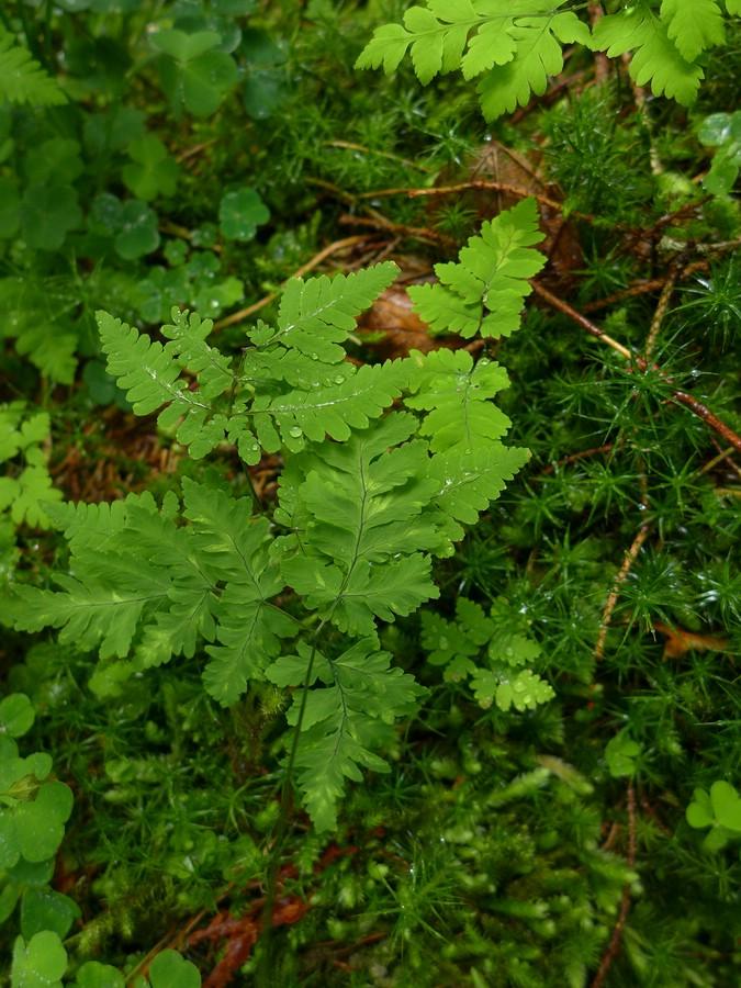 Hyalopsora aspidiotus_Gymnosporangium dryopteris_JKruse (1)
