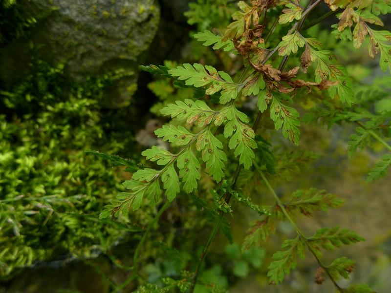 Hyalopsora polypodii_Cystopteris fragilis_JKruse (2)
