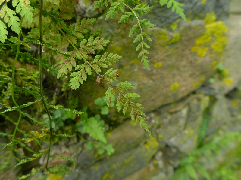 Hyalopsora polypodii_Cystopteris fragilis_JKruse (3)