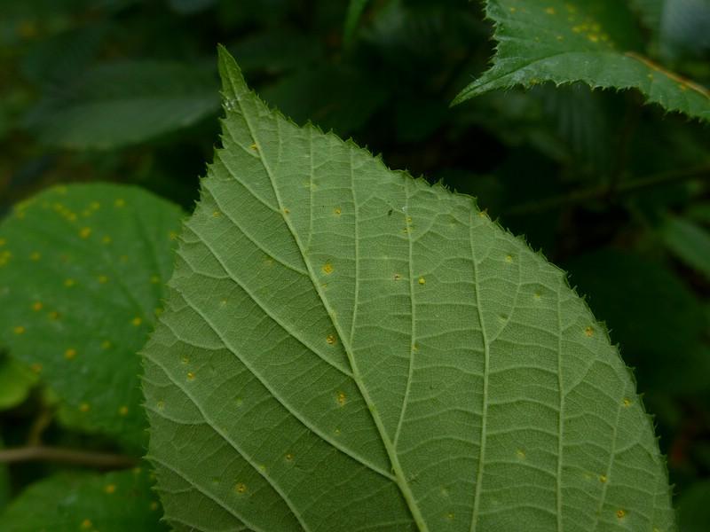 Kuehneola uredinis_Rubus pedemontanus_JKruse (2)