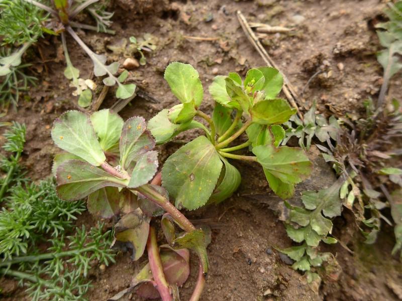Melampsora helioscopiae_Euphorbia helioscopia_JKruse