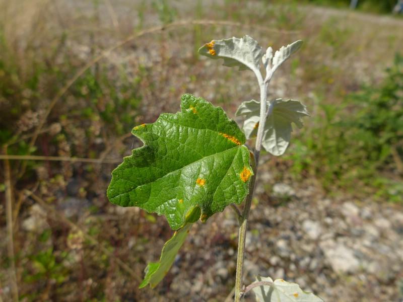 Melampsora rostrupii_Populus alba_Jkruse (1)