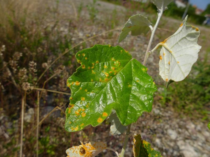 Melampsora rostrupii_Populus alba_Jkruse (3)